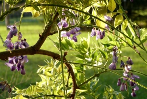 I just missed the prime bloom season for the wisteria.  These are all that is left now.