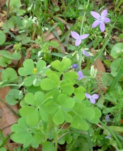 Pretty little purple wildflowers behind wood sorrel