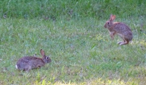 Bunnies.  Usually they stay at the edge of the yard and Sunny and Sheba don't notice them.  But when they do, the chase is on!