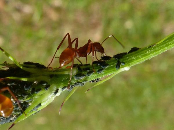 An ant tending a herd of aphids