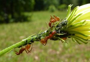 Another shot of ants tending their aphids