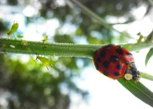 Another shot of the ladybug eating the aphid