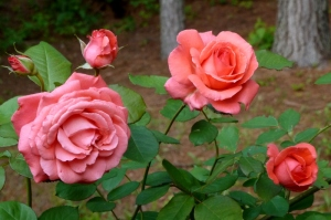 My favorite roses, again.