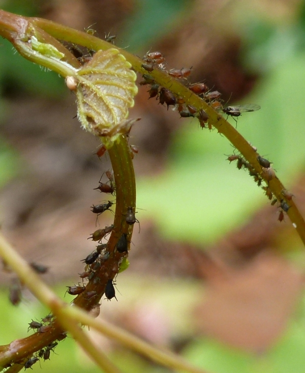 Unlike my sister Hope's photos, my aphid herding ant picture turned out fuzzy.  So you just get the aphids on a wild drape vine. :)