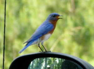 Bluebird scolding his shadow in the glass