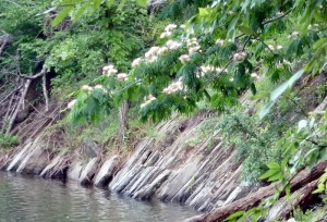 Mimosas blooming on the bank