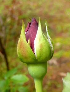 New rosebud