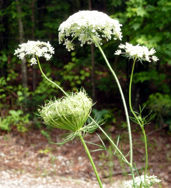 Wild Carrots (Queen Anne's Lace) with one flower head birdsnesting (folding up to ripen the seeds)