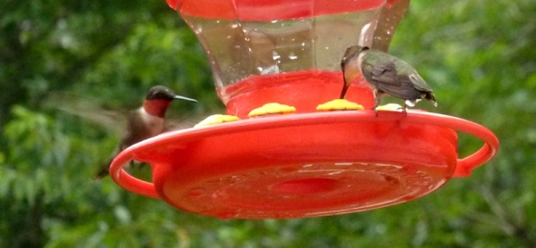 A rare, split second two hummingbirds share the same feeder