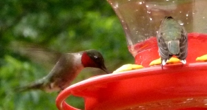 Another brief moment of two hummingbirds at the feeder before the battle ensued.  :)