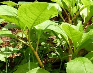 Baby poke salad plants