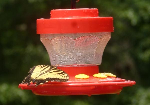 Butterfly at the hummingbird feeder.  Taken through kitchen window glass.