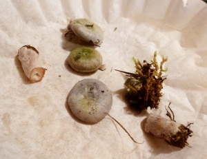 Inside the house (taking spore prints) - they are now ugly green and gray.