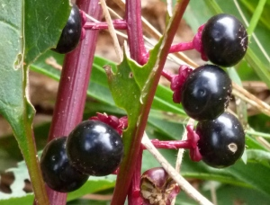Poisonous pokeweed berries