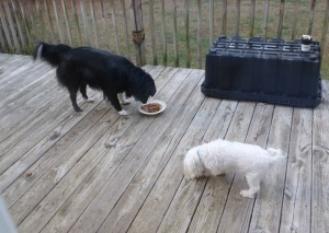 Sunny and Sheba enjoying turkey, dressing and giblet gravy.