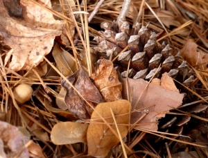 pine cone and acorn