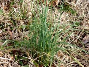 Field garlic closeup