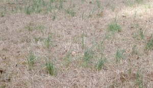 The only green in our yard is a very healthy crop of field garlic.