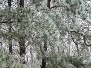 Pine trees heavy with ice