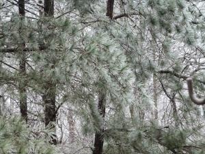 Pine trees heavy with ice