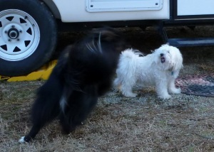 Sheba pestering Sunny :)