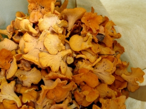 The Talladega National Forest is where I found the motherlode of chanterelles the summer we were there.