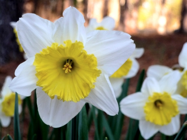 Daffodils!  Spring is here!