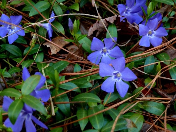 Perennial vinca (periwinkles).  The actual color is a deep royal purple, but my camera changes it to blue.