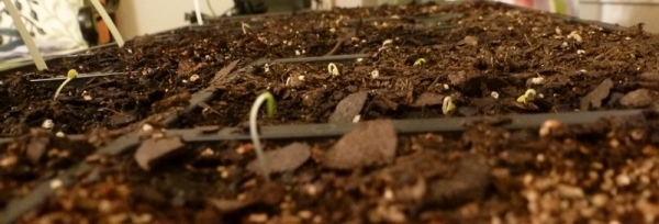 Romaine lettuce and Chinese cabbage sproutng