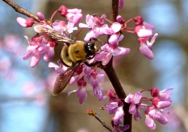 Bee on redbud tree blossoms