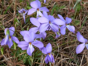 Wild birdsfoot violets in the front yard