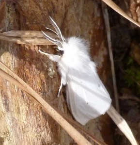 This beautiful moth looked like she was dressed up in her bridal finery to me.