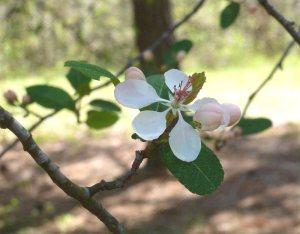 Wild crabapple blossom