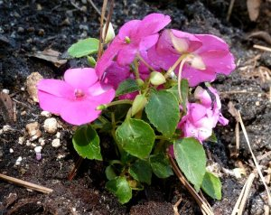 I planted pink and purple impatiens around the hosta pot.