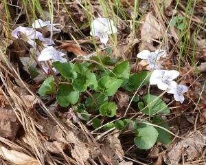 Light blue/white violets