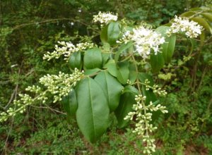 Horribly invasive, but sweet-smelling Chinese privet.