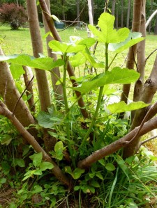 The cold spring killed the fig trees, but new shoots are coming up from the base of the trees.