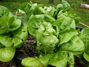 Little Gem lettuce starting to head.