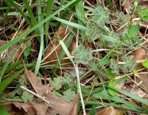Oxalis leaves (shamrock)