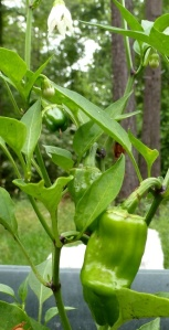 Baby  bell peppers
