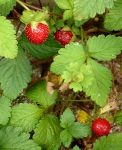 The invasive, tasteless Indian strawberries seem to fruit all season.  Their job seems to be to take over the wild strawberries' habitat, and they are doing a good job of it, unfortunately.