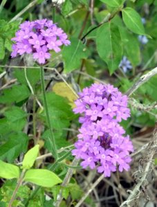 Verbena rigida, I think.