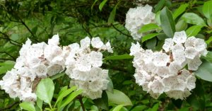 Mountain laurel near the cabins