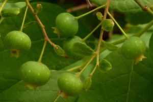 A variety of blueberries or huckleberries.
