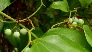 Greenbrier berries