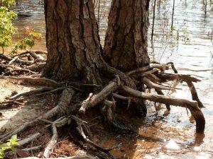 Interlocking roots