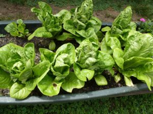 Little Gem lettuce has small heads that are the perfect size for a salad for two.  Note top left where a head was harvested and is growing a new head.