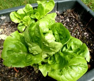 The lettuce plant in the rear is one that regenerated from a stalk that was harvested earlier.