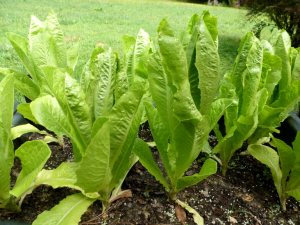 The romaine will be ready soon.