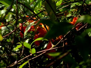Trumpet flower vine hidden in underbrush